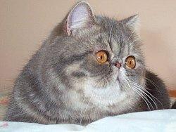 Persian cats for sale tasmania